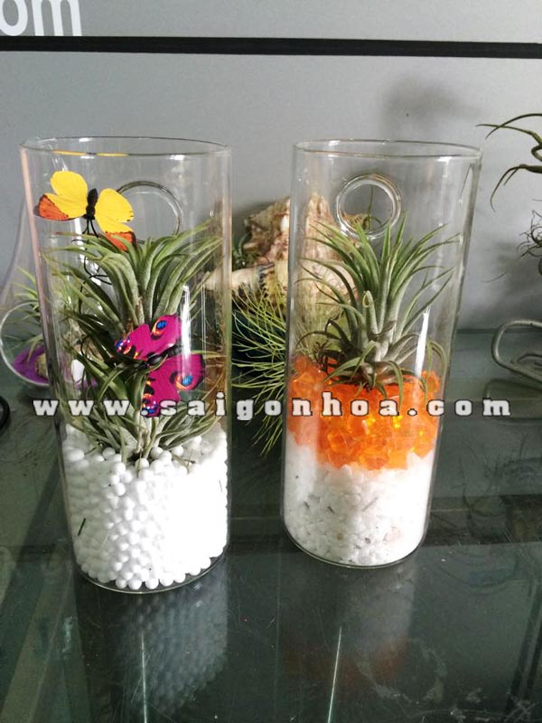 air plant tru treo tuong